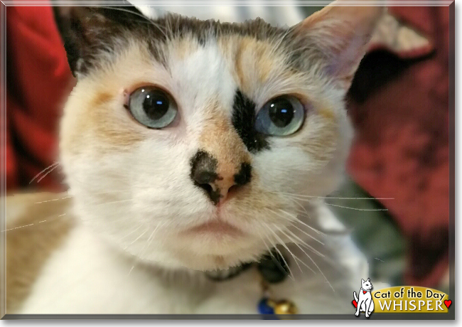 Whisper the Calico mix